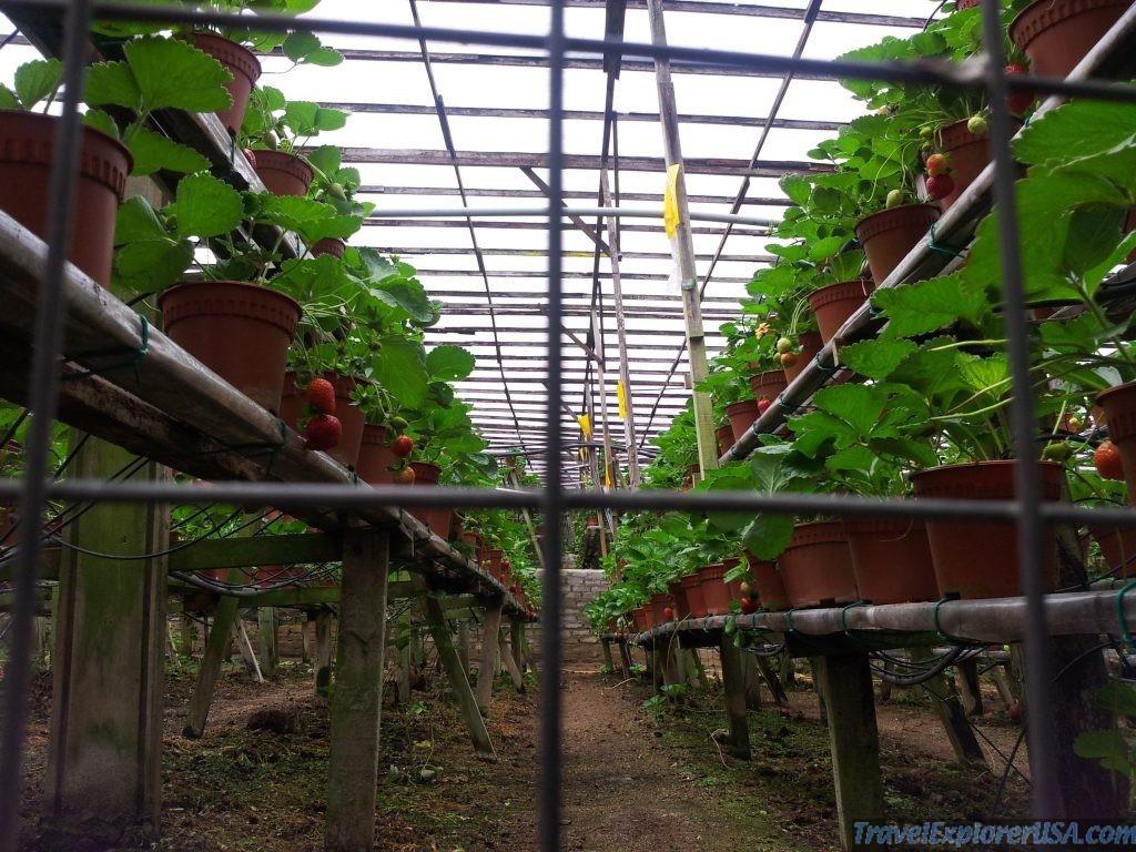 Cameron Highlands Strawberries Malaysia